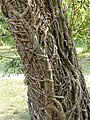 Lierre sur tronc d'arbre.jpg