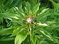 Lilium martagon bud.jpg
