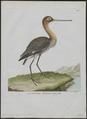 Limosa aegocephala - 1790-1796 - Print - Iconographia Zoologica - Special Collections University of Amsterdam - UBA01 IZ17400003.tif
