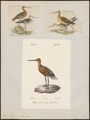 Limosa lapponica - - Print - Iconographia Zoologica - Special Collections University of Amsterdam - UBA01 IZ17400017.tif