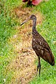 Limpkin (Aramus guarauna).jpg