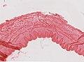 Limulus polyphemus (YPM IZ 098237).jpeg