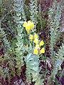 Linaria genistifolia ssp dalmatica 02.jpg