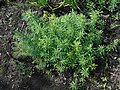 Linaria vulgaris 2018-05-02 0183.jpg