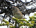 Lincoln's Sparrow, Terra Nova National Park, Newfoundland.jpg