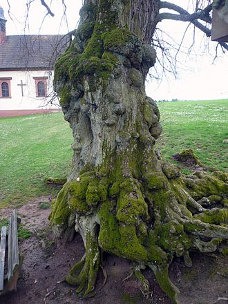 Tilia - Bole of an ancient Tilia at Frankenbrunn, Bavaria