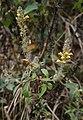 Lindenbergia philippensis 2.jpg