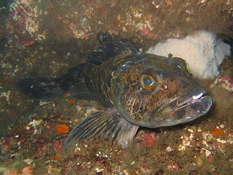 Lingcod - At Santa Catalina Island, California