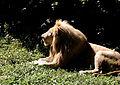 Lion 073.jpg