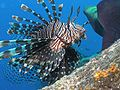 Lionfish - up close.jpg