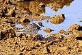 Little Ringed Plover (23927371885).jpg