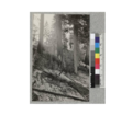 Live redwood tree burning at base after slash fire; tie cuttings near Comptche. 1921. D. Bruce.png