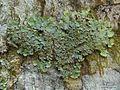 Lobaria tenuis - Flickr - pellaea.jpg