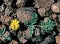 Lomatium ochocense Richard Helliwell2 lg.jpg