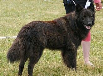 Dutch Shepherd - Long-haired Dutch Shepherd