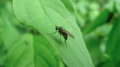 Long legged fly (5979436167).png