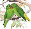 Drawing of two green parrots with red throat and yellow tail
