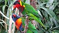 Lorikeets -Nashville Zoo, Tennessee, USA -two species-8a.jpg