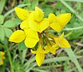 Lotus corniculatus (Bird's-foot Trefoil) in Stewarton.jpg