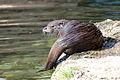Lutra lutra Zoo Salzburg 20140330 07.jpg