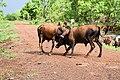 Lutte entre bovins dans le pâturage naturel de Samiondji (Covè).jpg