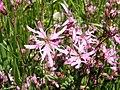 Lychnis flos-cuculi. Flor del cuquiellu.jpg