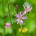 Lychnis flos-cuculi in Aveyron (3).jpg