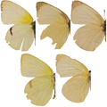 Lyside Sulphur variation, Megan McCarty142.PNG