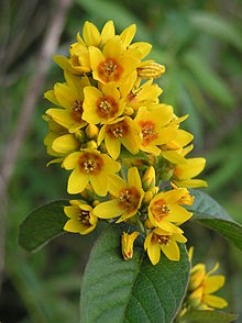 Lysimachia vulgaris wikipedia lysimachia vulgaris flowers 2g mightylinksfo