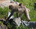 Macaca fuscata (baby on mother).JPG