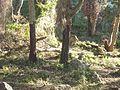Macaque berbère à Ziama Mansouriah 17 (Algérie).jpg