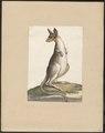 Macropus giganteus - 1700-1880 - Print - Iconographia Zoologica - Special Collections University of Amsterdam - UBA01 IZ20300238.tif