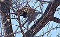 Madagascar harrier-hawk 5.jpg