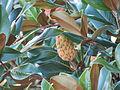 Magnolia 10-12 578.jpg