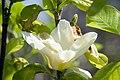 Magnolia Elizabeth 2zz.jpg