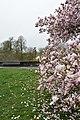 Magnolia de la rue de la Croix-Rouge (3).jpg