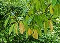 Magnolia doltsopa in Eastwoodhill Arboretum (7).jpg