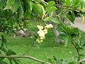 Magnolia kobus (21203098058).jpg