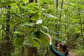 Magnolia macrophylla (4965626295).jpg