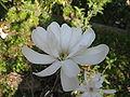 Magnolia stellata10.jpg