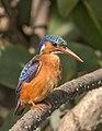 Malachite kingfisher (Corythornis cristatus galerita).jpg