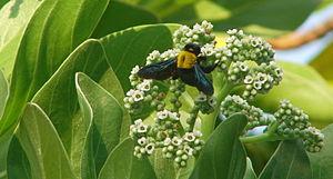 Heliotropium foertherianum - Flowers
