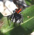 Male. Philaeus chrysops - Flickr - gailhampshire (1).jpg