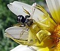 Male Crab Spider (Thomisus onustus) with Bee - Flickr - gailhampshire.jpg