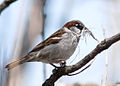 Male House Sparrow (Passer domesticus) carrying nesting material.jpg