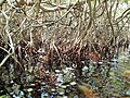 Malpighiales - Rhizophora mangle - 11.jpg