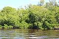 Malpighiales - Rhizophora mangle - 27.jpg