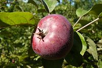 Malus Aldenham Purple in Wirty.JPG