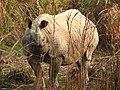 Mammal Rhino Kaziranga IMG 4676 05.jpg