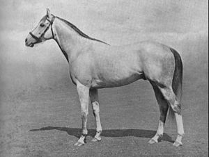 Mahmoud (horse) - Mahmoud in a 1937 photograph by Frank Griggs.